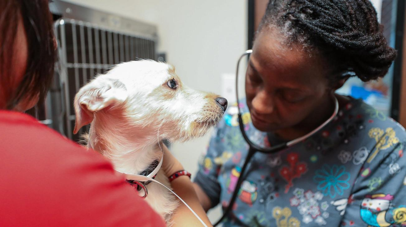 Woman Checking dog's vitals